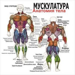 массаж плакат анатомия мускулатура