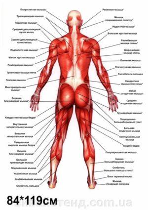 плакат мышцы
