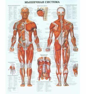 плакат мышечная система