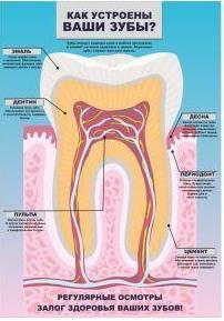как устроены зубы плакат