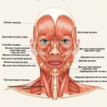 плакат мышцы лица и шеи