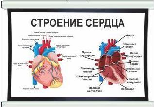 плакат строение сердца