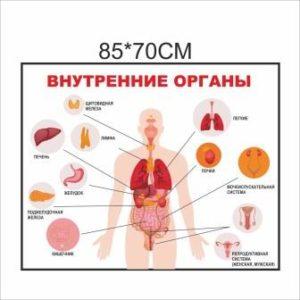 плакат внутренние органы