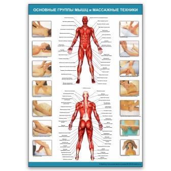 Плакат Основные группы мышц и массажные техники