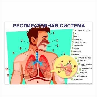Плакат Респираторная система