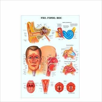 Плакат Ухо горло нос