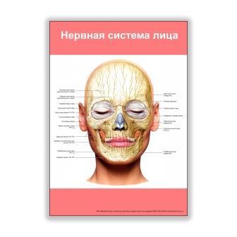 Плакат нервная система лица