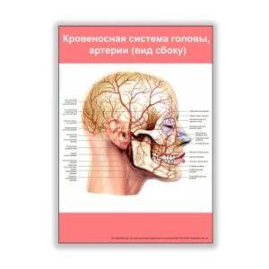 плакат кровеносная система головы, артерии