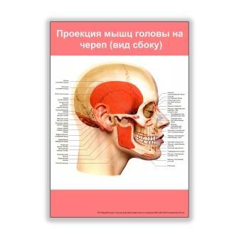 плакат проекция мышц головы на череп вид сбоку