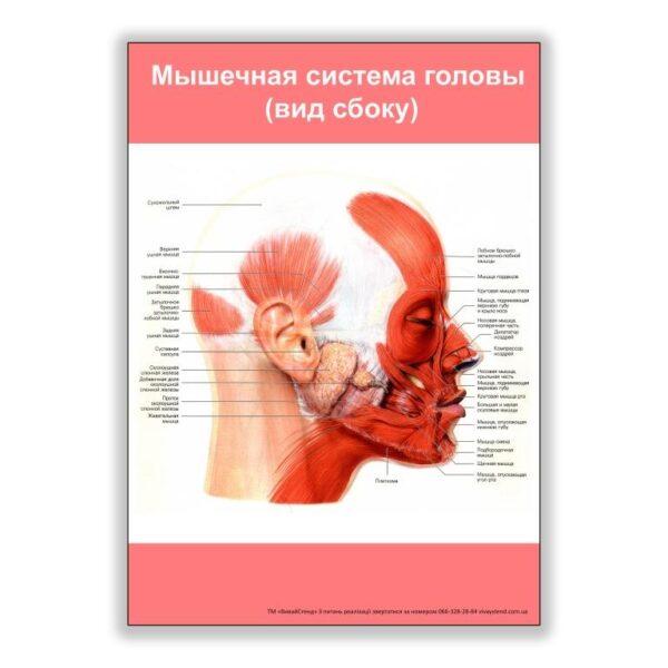 плакат мышечная система головы вид сбоку