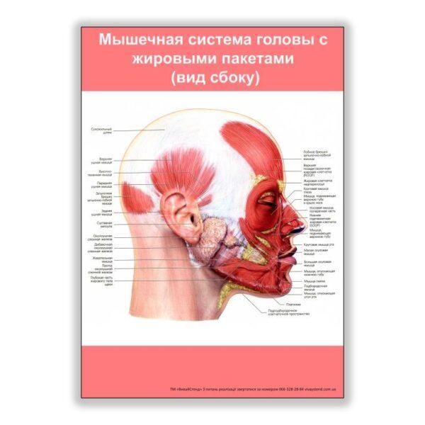 плакат мышечная система головы с жировыми пакетами