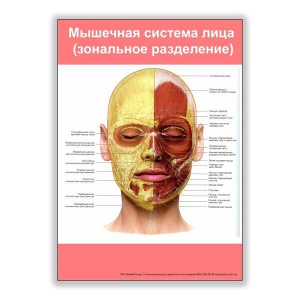 плакат мышечная система лица
