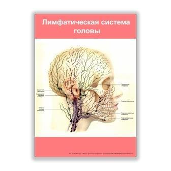 плакат лимфатическая система головы
