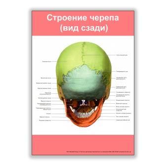 строение черепа вид сзади