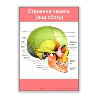 плакат строение черепа вид сбоку