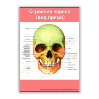 плакат строение черепа вид прямо