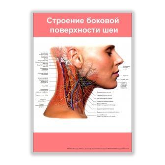 плакат строение боковой поверхности шеи