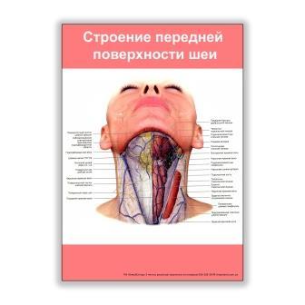 плакат строение передней поверхности шеи