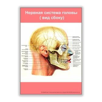 плакат нервная система головы