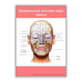 плакат кровеносная система лица