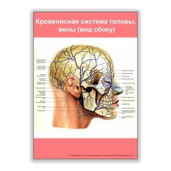 плакат кровеносная система головы, вены